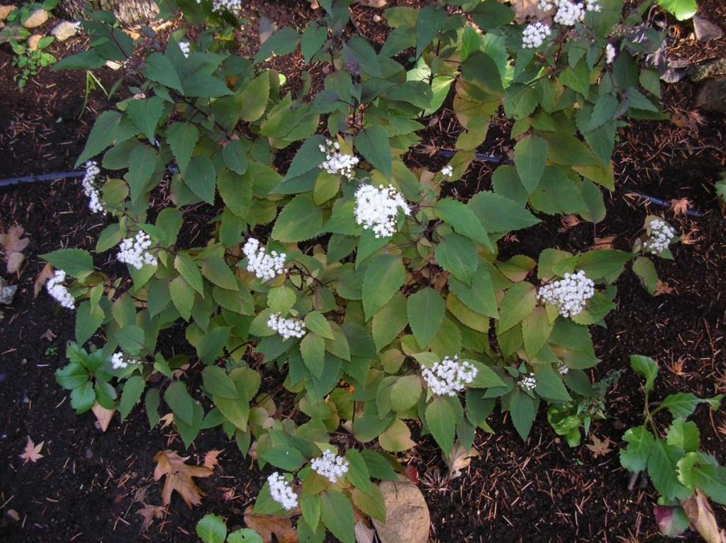 Eupatorium rugosum, White Snakeroot,