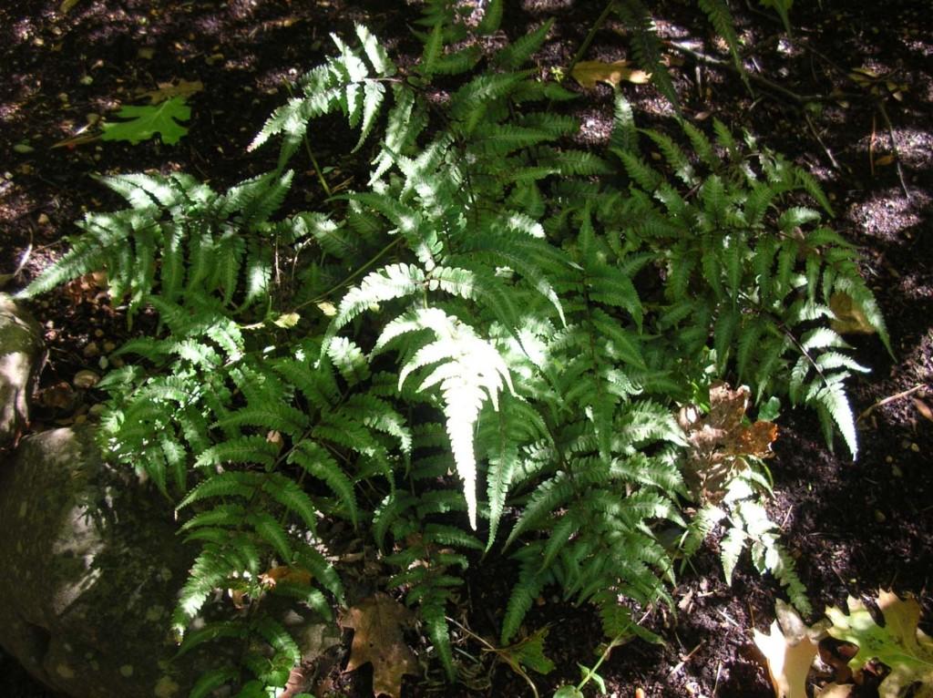 Athyrium niponicum pictum, Japanese Painted Fern