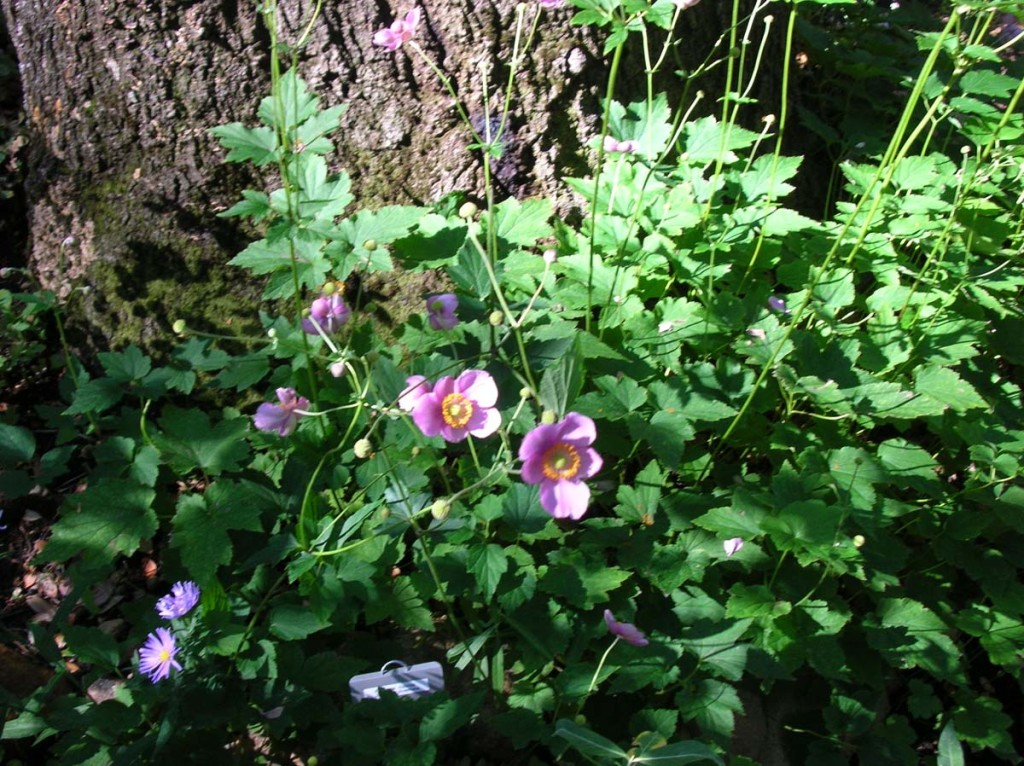 Japanese Anemone, Anemone x hybrida