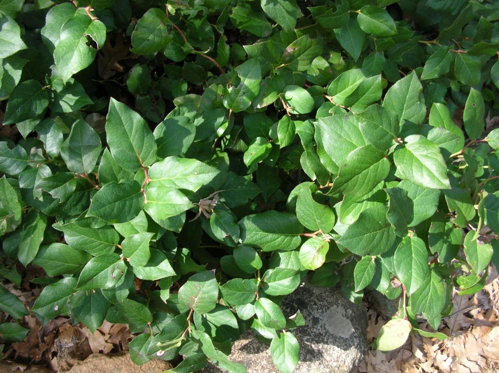 Gaultheria shallon, Salal