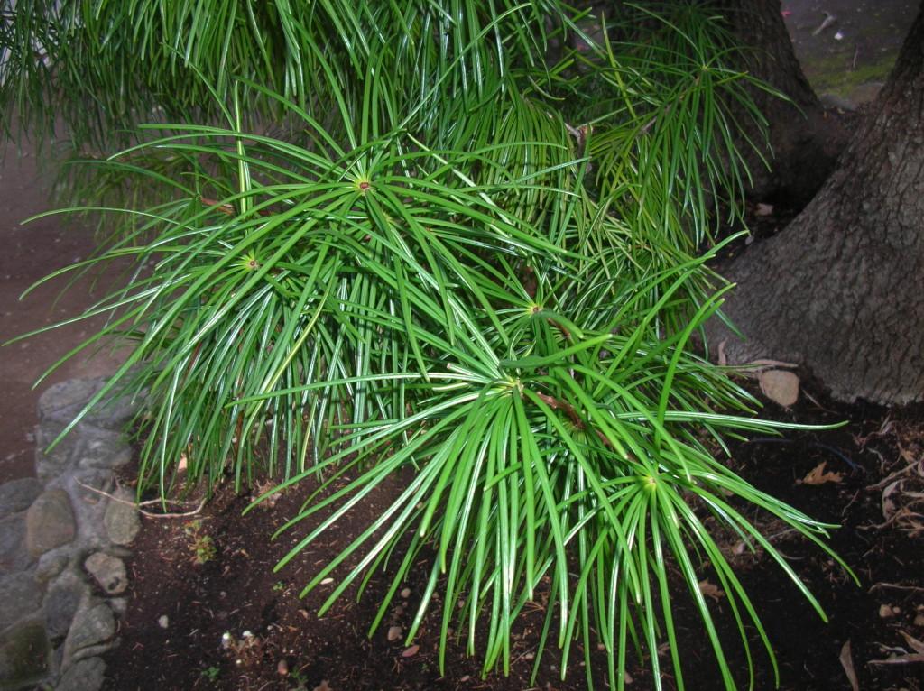 umb_pine