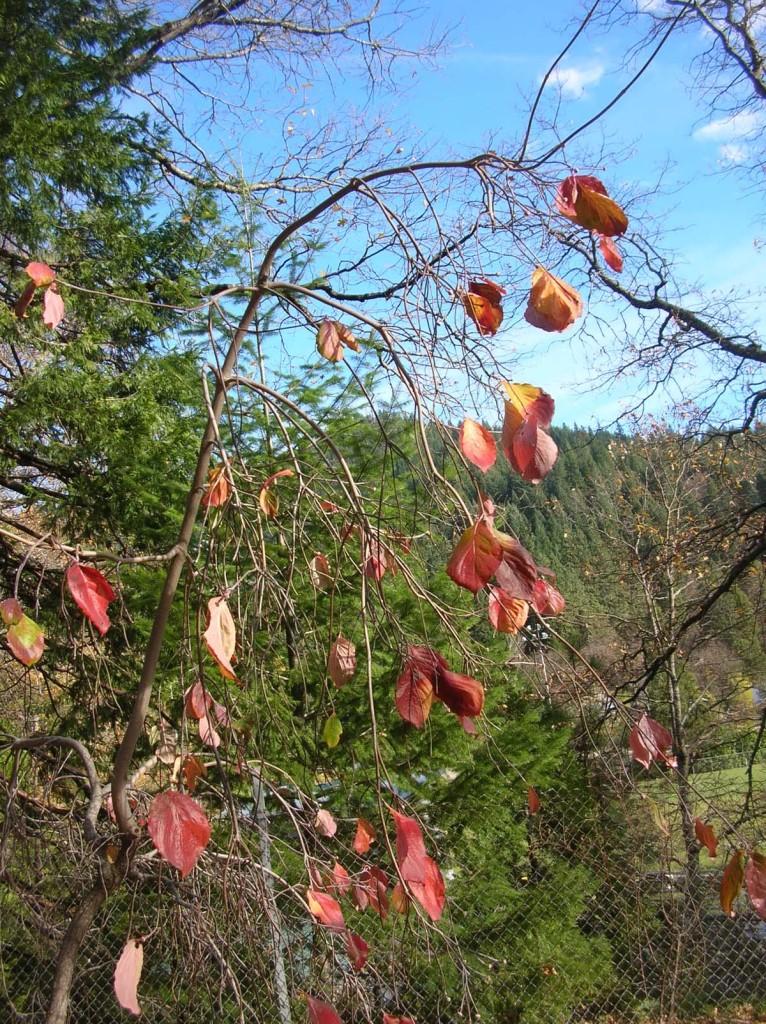Cornus florida 'Pendula', Weeping Dogwood