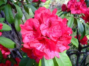 Buchert-Rhododendron Splendor